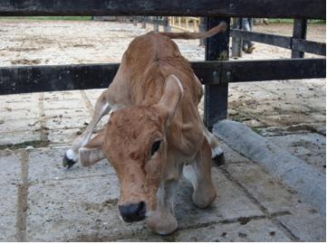 virus de diarrea viral bovina